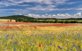 Picture field, forest, summer, the sky, clouds, flowers, blue, Maki, meadow, cornflowers
