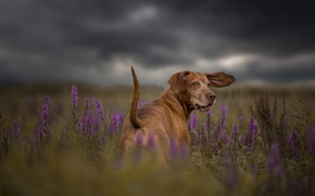 Picture field, summer, the sky, grass, look, face, flowers, clouds, nature, pose, overcast, dog, meadow, tail, …