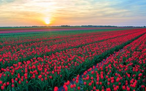 Picture field, the sky, the sun, clouds, flowers, dawn, spring, morning, tulips, red, the ranks, field …
