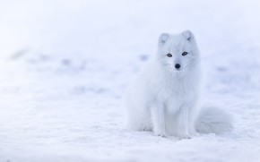 Picture winter, white, look, snow, the snow, Fox