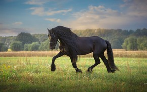 Picture field, summer, grass, clouds, nature, pose, green, background, horse, horse, stallion, meadow, mane, walk, hooves, ...