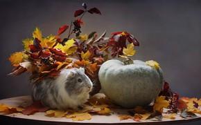 Picture sadness, autumn, animals, leaves, pumpkin, Guinea pig