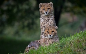 Picture grass, look, pose, a couple, two, cubs, cheetahs