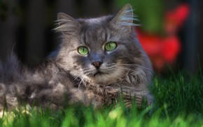 Picture greens, cat, grass, cat, look, face, light, grey, background, the fence, portrait, garden, grey, green …