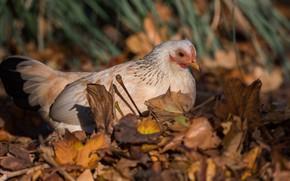 Picture autumn, grass, look, leaves, nature, bird, chicken, autumn, beige, motley, chicken, Kura, hen