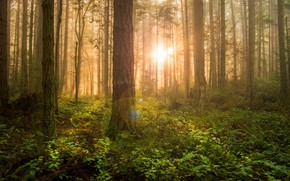 Picture greens, forest, the sun, rays, light, trees, fog, thickets, trunks, pine, the bushes, Bor, pine