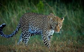 Picture field, grass, look, leopard, wild cat