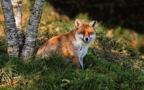 Picture grass, look, light, nature, tree, glade, Fox, red, sitting, Fox