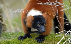 Picture look, face, nature, pose, stems, paws, red, lemur, blade