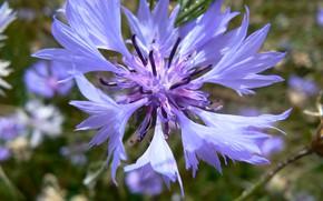Picture macro, flowers, cornflower, Belarus, cornflower blue, my photo