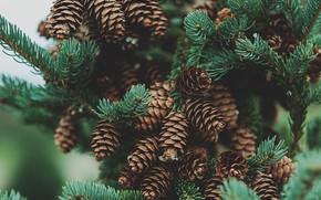 Picture branches, nature, needles, bumps, a lot, coniferous, bokeh