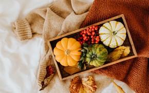 Picture autumn, comfort, berries, clothing, scarf, pumpkin, box, jacket, light background, Rowan, sweater, autumn leaves