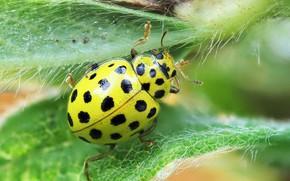 Picture ladybug, cow dvadtsatisemiletny, psyllobora