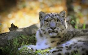Picture predator, IRBIS, snow leopard
