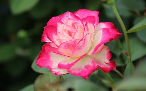 Picture rose, petals, motley