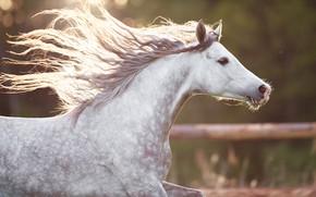 Picture horse, horse, running, mane