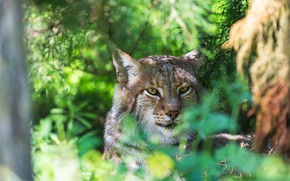 Picture cat, look, face, branches, portrait, lies, lynx, wild