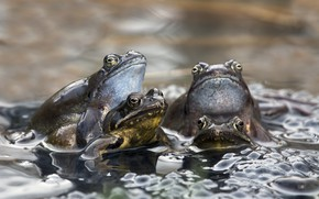 Picture water, puddle, frogs, couples, eggs