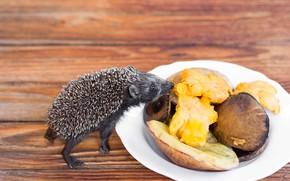 Picture pose, mushrooms, flooring, plate, muzzle, floor, hedgehog, the smell, curiosity, hedgehog, hedgehog, hedgehog