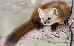 Picture look, nature, pose, background, tree, legs, predator, branch, muzzle, tail, animal, cute, marten