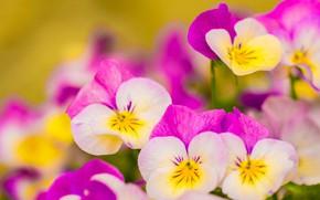 Picture macro, Pansy, Viola tricolor