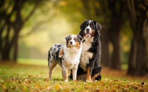 Picture autumn, forest, language, dogs, look, leaves, trees, pose, Park, background, together, glade, foliage, two, pair, …