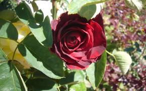 Picture rose, flower, autumn