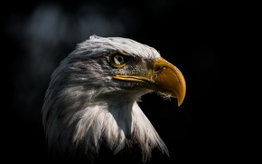 Picture background, bird, eagle
