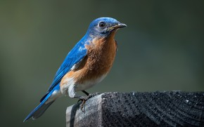 Picture nature, bird, Bluebird