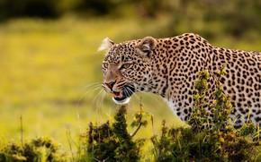 Picture leopard, wild cat, bokeh