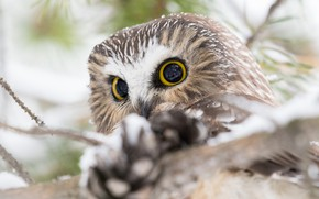 Picture winter, look, snow, branches, owl, bird, portrait, light background, bumps, eyes