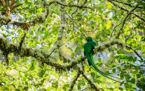 Picture greens, leaves, light, branches, tree, bird, foliage, moss, green, bokeh, exotic, Quetzal, long tail