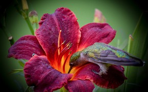 Picture flower, macro, Lily, Hummingbird, bird