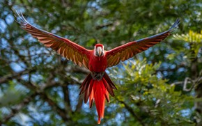 Picture bird, wings, feathers, blur, parrot, flight, Red macaw