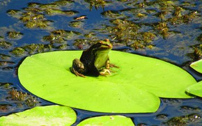 Picture summer, water, algae, frog, Lily, green, toad