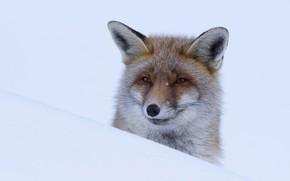 Picture winter, look, face, snow, nature, portrait, Fox, the snow