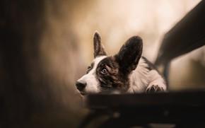 Picture look, bench, dog, ears, face, bokeh, Welsh Corgi