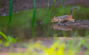 Picture water, reflection, Chipmunk