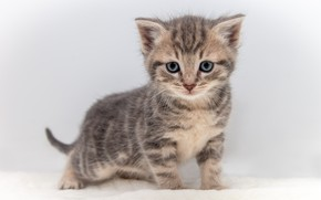 Picture cat, look, pose, kitty, grey, cute, white background, kitty, face, striped, baby