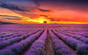 Picture summer, clouds, sunset, flowers, strip, tree, the evening, horizon, bright colors, the ranks, lavender, plantation, …