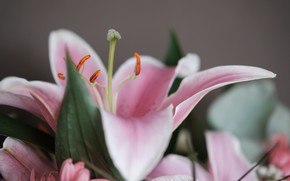 Picture macro, Flower, Lily