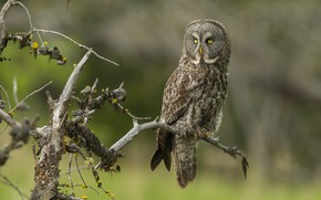 Picture branches, background, owl, bird, snag, branches, owl