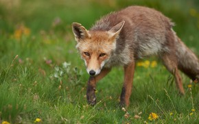 Picture greens, summer, grass, look, face, flowers, pose, glade, Fox