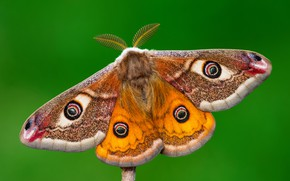 Wallpaper orange, antennae, pattern, butterfly, wings, insect, hairy, red, background, green, Emperor moth, macro, yellow
