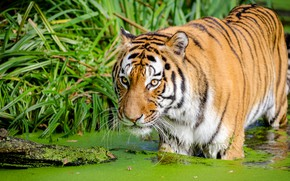 Picture grass, face, tiger, shore, pond, duckweed