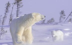Picture winter, animals, snow, nature, predators, bears, bear, cub, bear