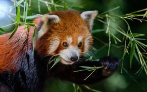 Picture look, face, leaves, the dark background, portrait, red Panda, bokeh, red Panda, twigs, bamboo leaves, …