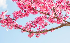Picture branches, spring, Sakura, flowering, pink, blossom, sakura, cherry, spring, bloom