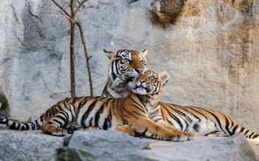 Picture stones, predators, Germany, tigers, lie, Berlin, Animal Park