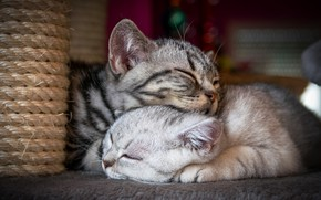 Picture cat, cat, cats, pose, comfort, house, kitty, grey, background, stay, together, sleep, pair, kittens, kitty, …